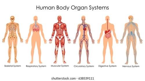 anatomy Images, Stock Photos  Vectors Shutterstock