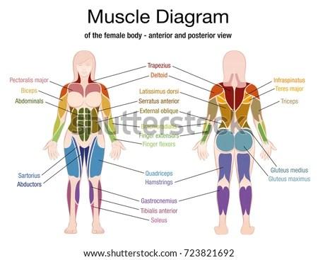 Muscle Diagram Female Body Accurate Description Stock Vector