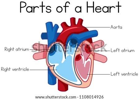 Parts Heart Diagram Illustration Stock Vector (Royalty Free