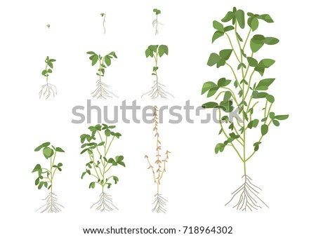 Soybean Growth Stages Stock Vector (Royalty Free) 718964302
