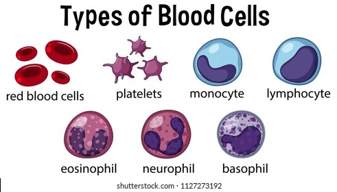 Types Blood Cells Illustration Stock Vector (Royalty Free
