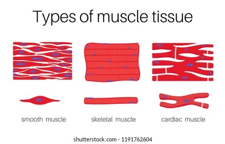 muscle tissue Images, Stock Photos  Vectors Shutterstock