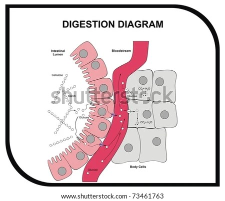 VECTOR Digestion Diagram Abdominal Tissue Medical Stock Vector