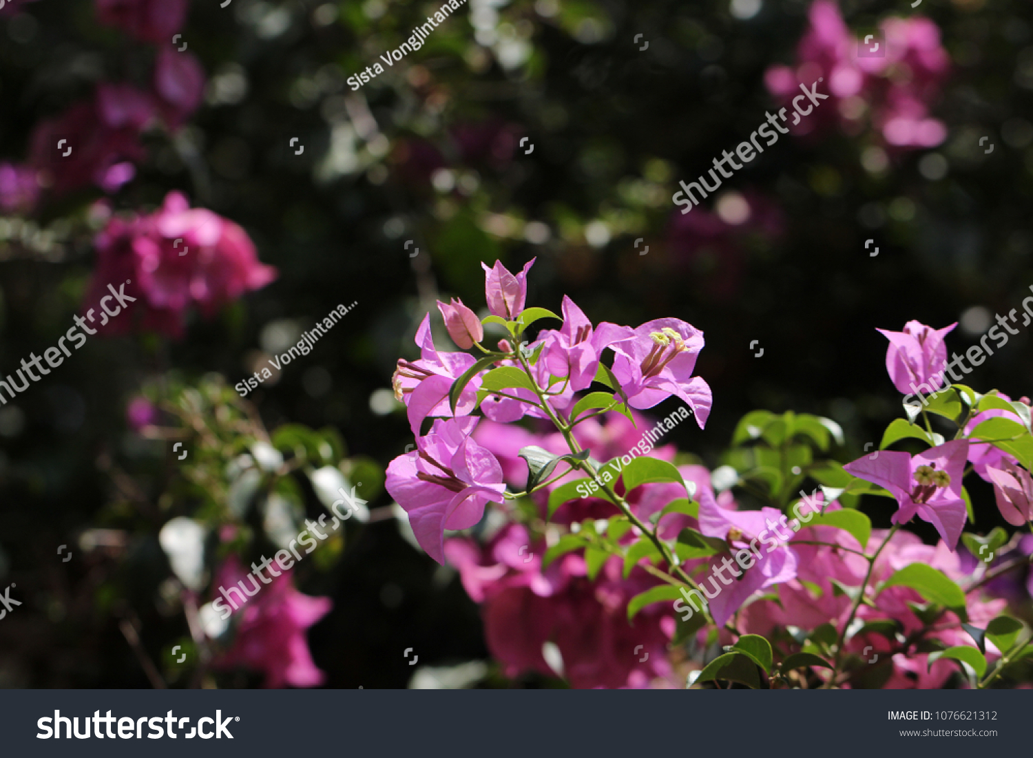 Bougainvillea Wallpaper Bougainvillea Glabra Choisy Paper Flowers Wallpaper Stock Photo