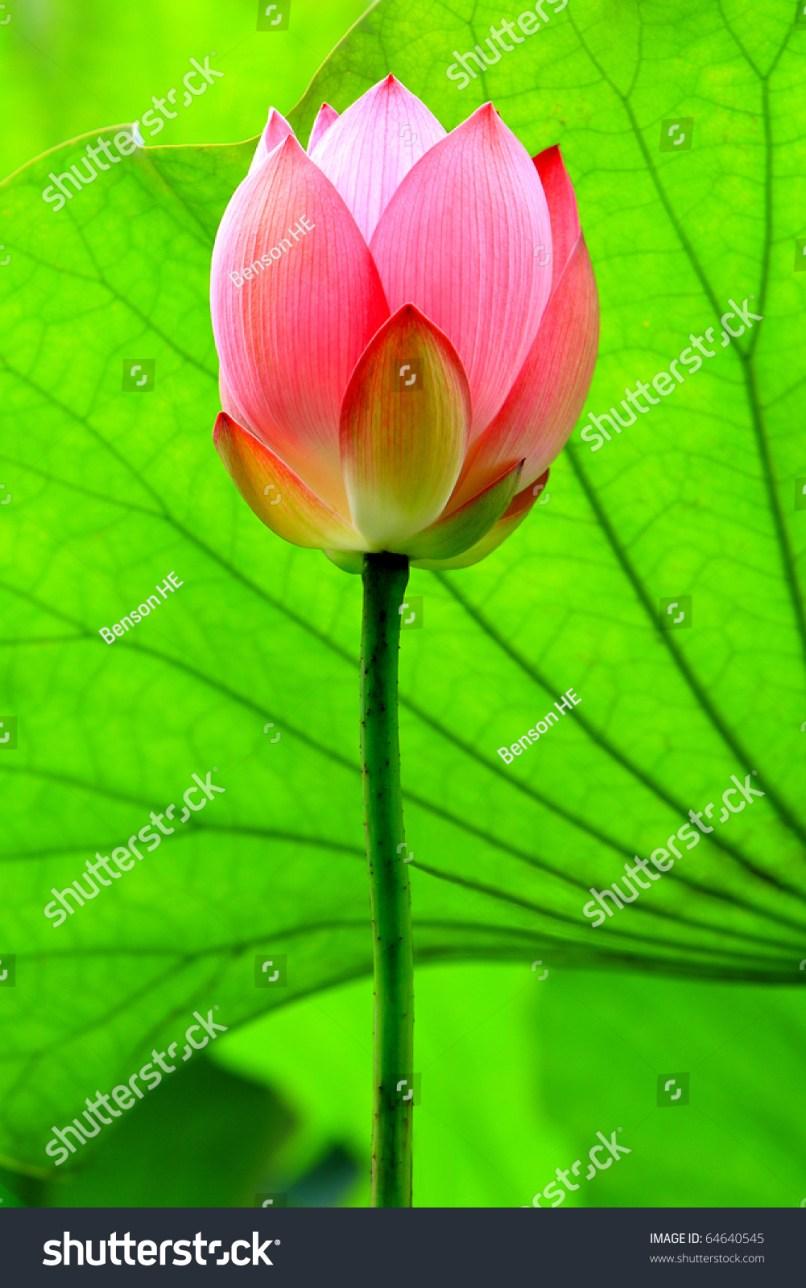 Image lotus flower bud babangrichie red lotus flower bud against green stock photo edit now 64640545 izmirmasajfo