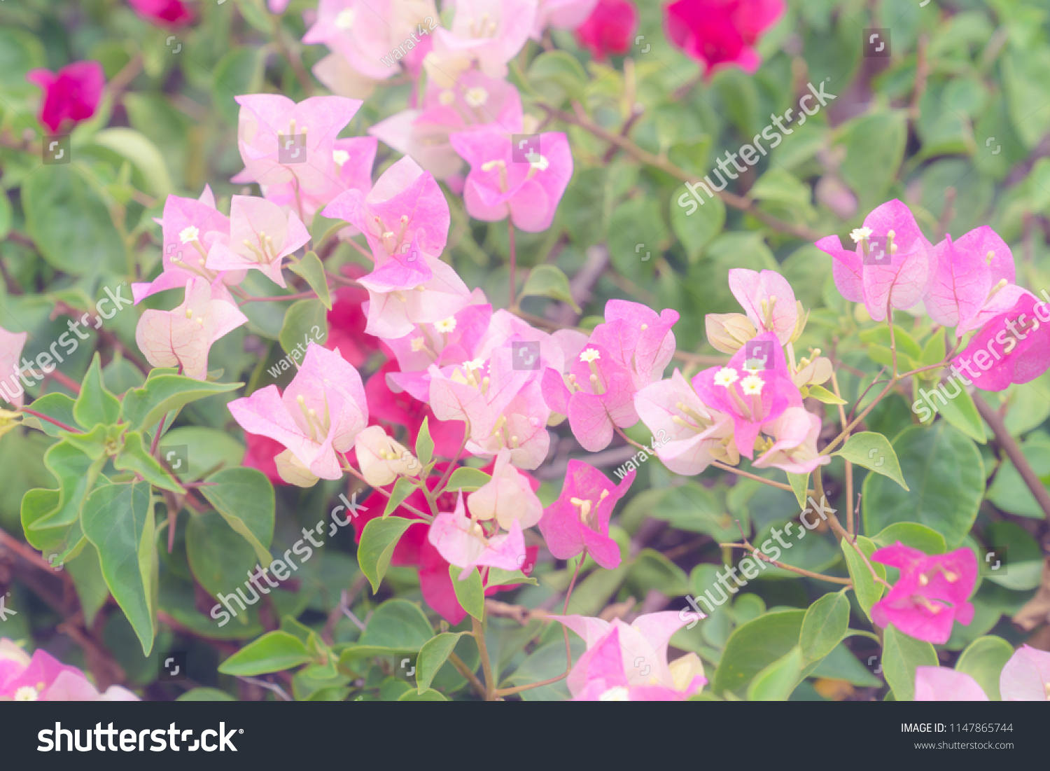Bougainvillea Wallpaper Beautiful Bougainvillea Flower Wallpaper Texture Backgroundsoft