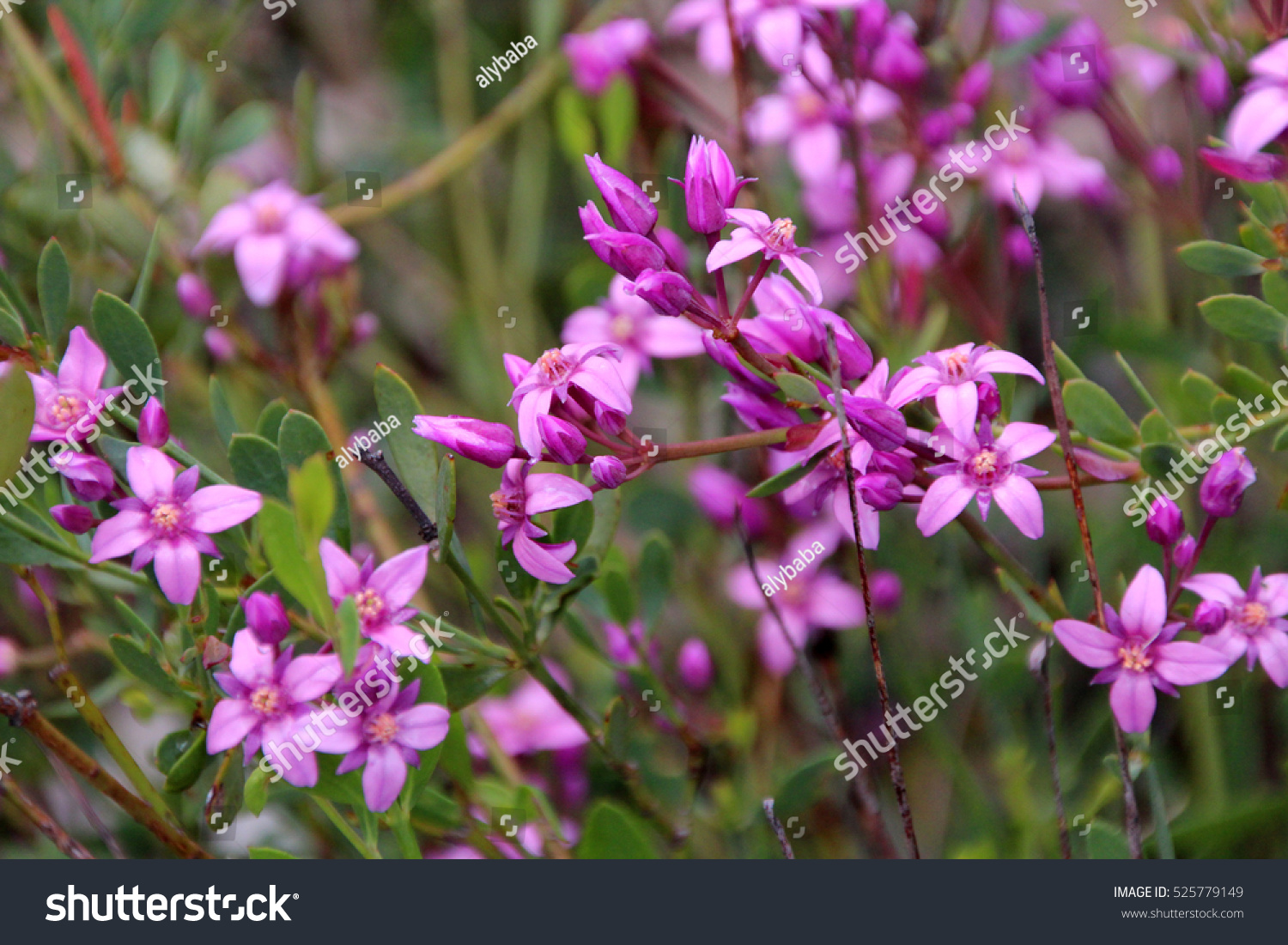 Pink Flowers Australia Beautiful Pink Flowers Rare West Australian Stock Photo Edit Now
