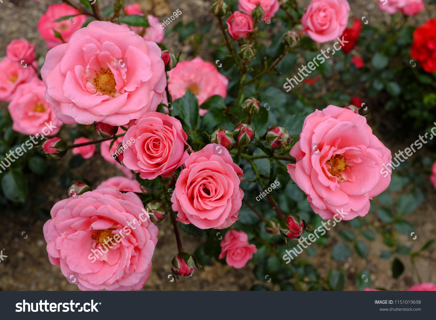 Bella Rosa Bella Rosa Rose 2018 Stock Photo Edit Now 1151019698 Shutterstock