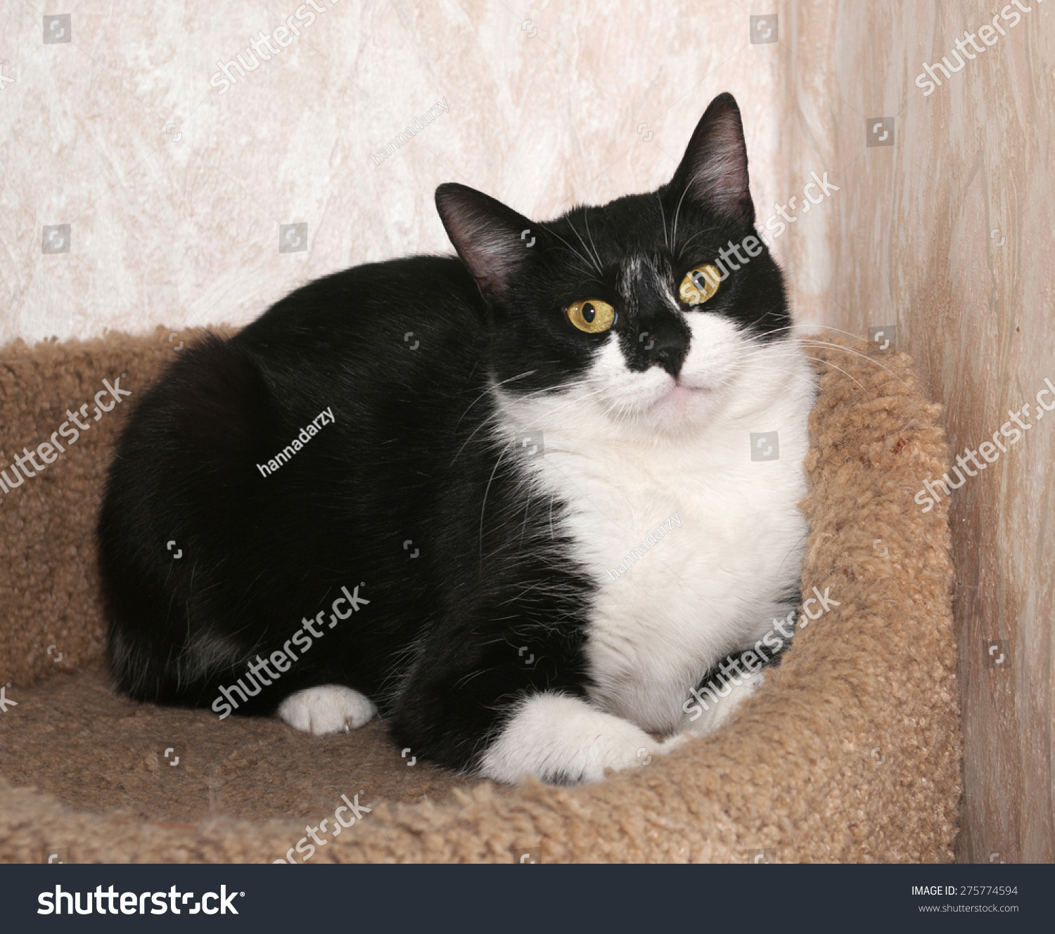White Cat Scratching Post Black White Cat Lies On Brown Stock Photo 275774594