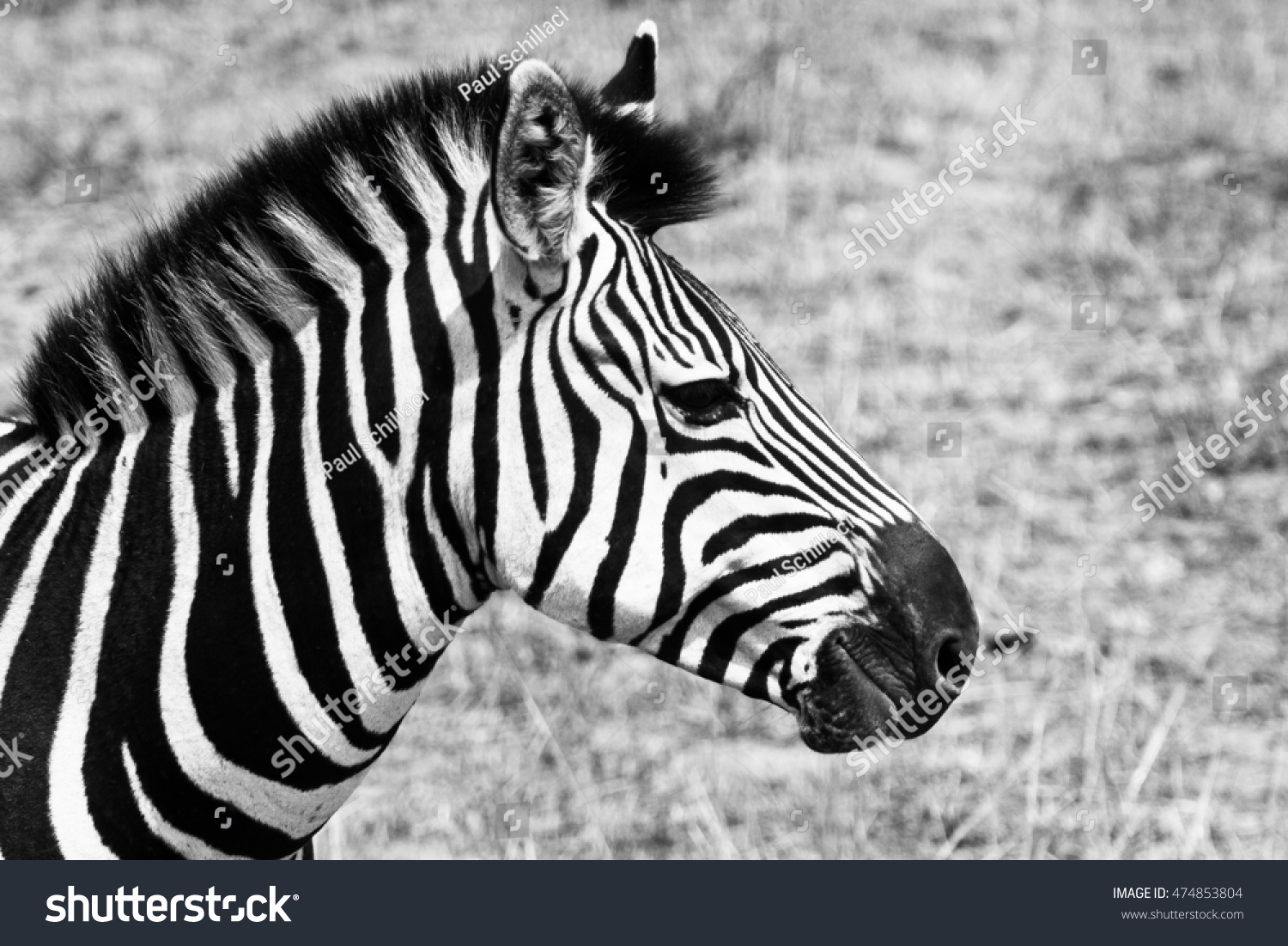 Side By Side Schmal Black White Side Profile Zebra Stock Photo Edit Now 474853804