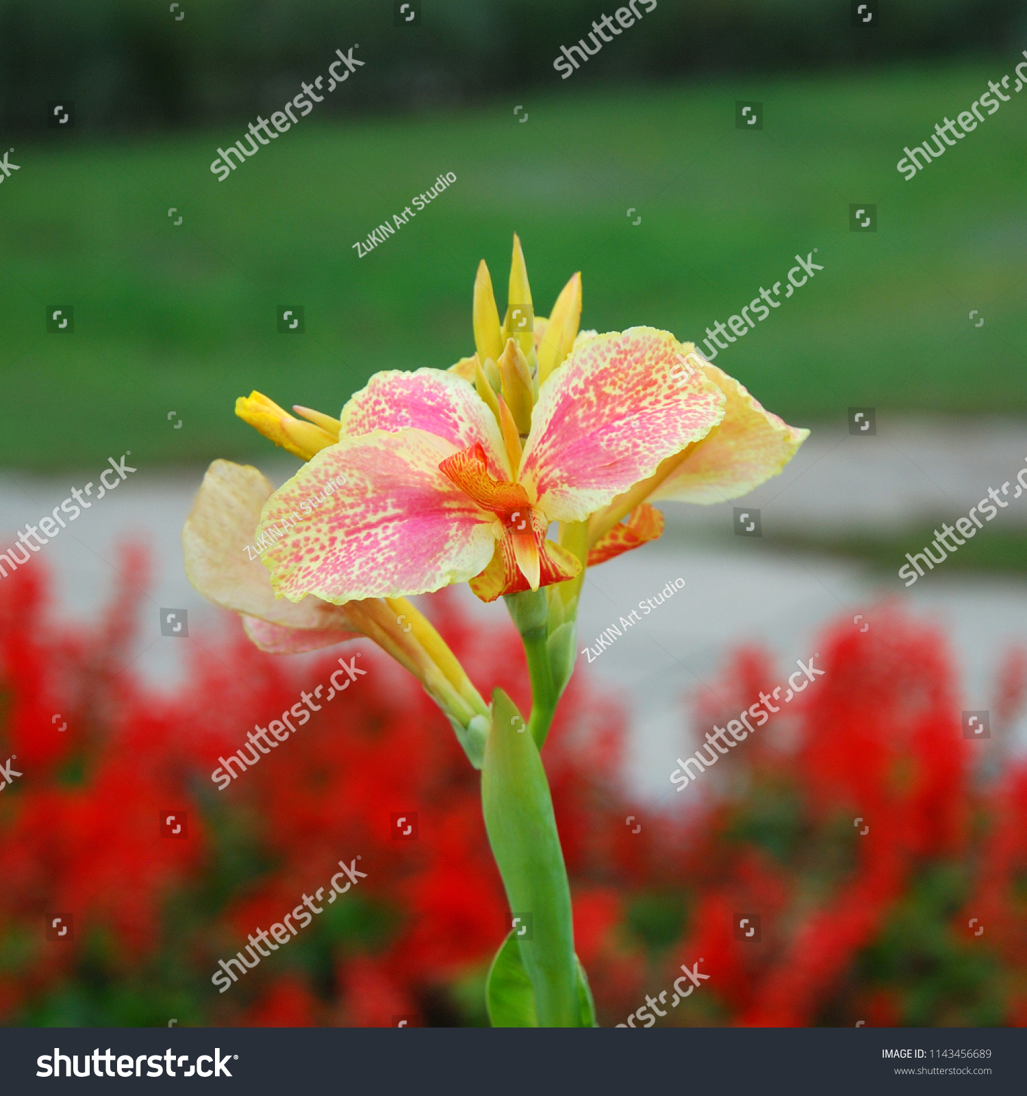 Canna Lily Pink Yellow Clouseup Flowers Stock Photo Edit Now 1143456689