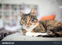 Cat On The Couch In A Living Room Stock Photo 115542760 ...