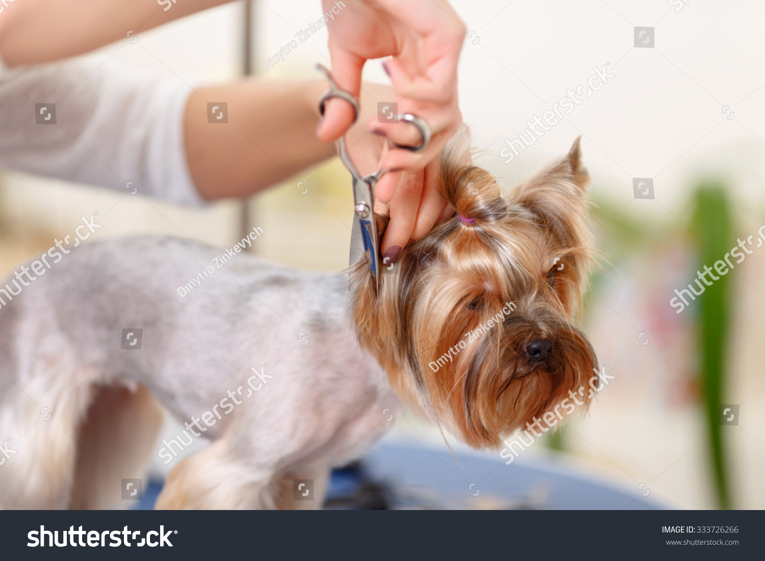 Coiffure Yorkshire Changing Coiffure Miniature Yorkshire Terrier Stands Stock