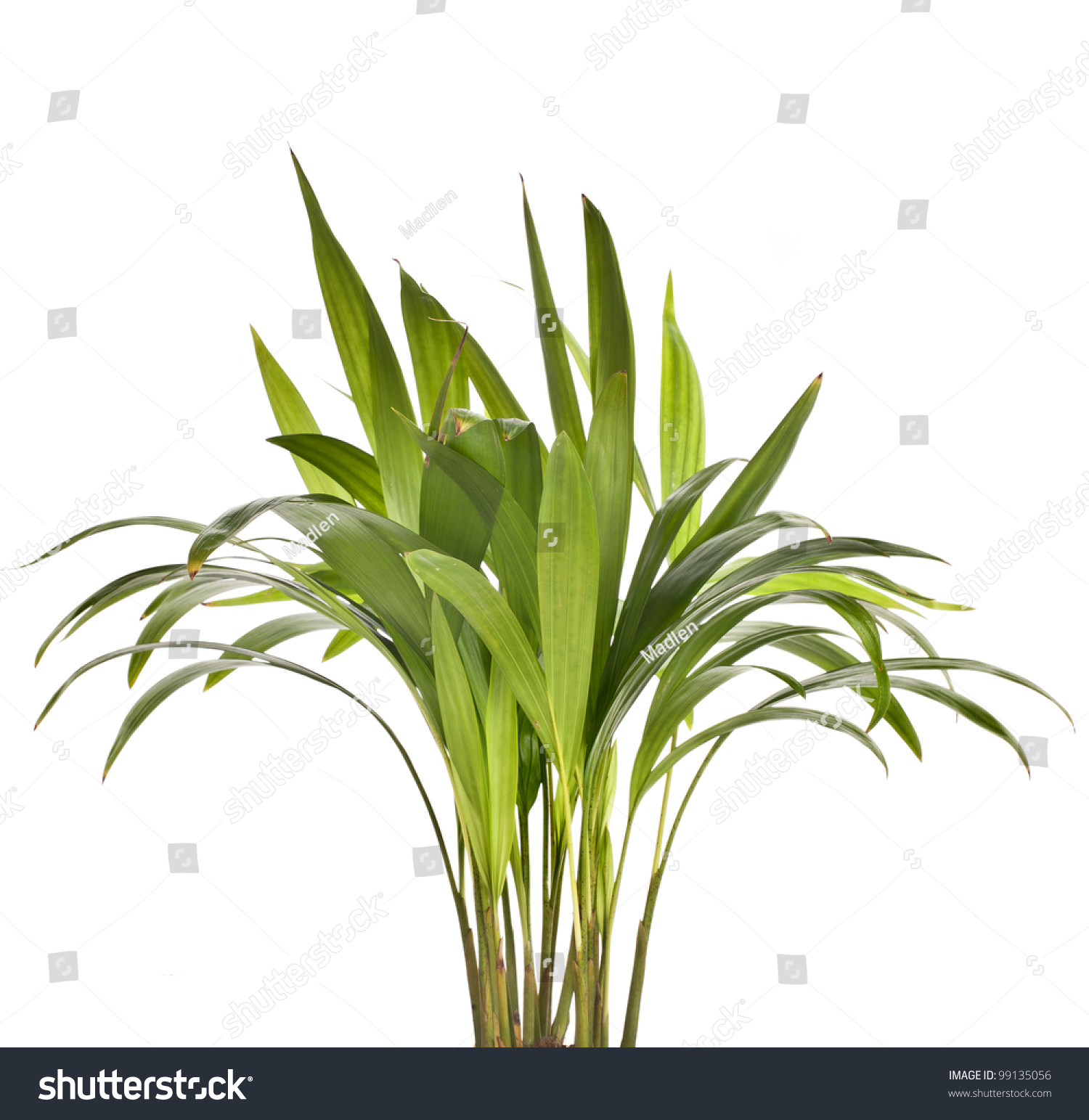 Chrysalidocarpus Lutescens Palm Tree Isolated On Stock