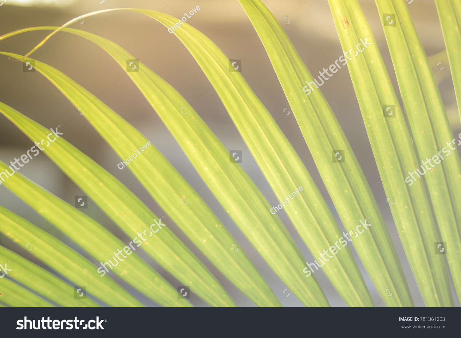 Chrysalidocarpus Space For Life Closeup Yallow Palm Chrysalidocarpus Lutescens Leaves Stock Photo