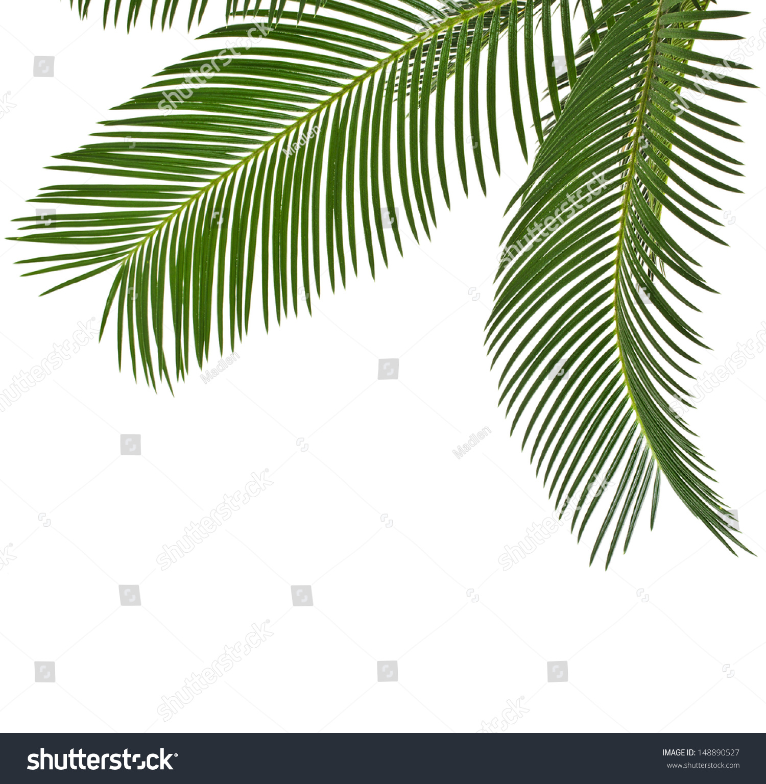 Chrysalidocarpus Space For Life Corner Border Palm Leaves Close Copy Stock Photo Edit Now