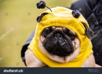 Dog Mops. Costume Bee Stock Photo 331499615 : Shutterstock