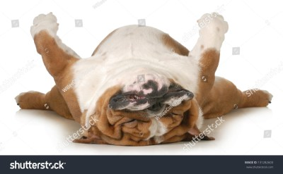 Dog Sleeping Upside Down Isolated On Stock Photo 131282603 - Shutterstock