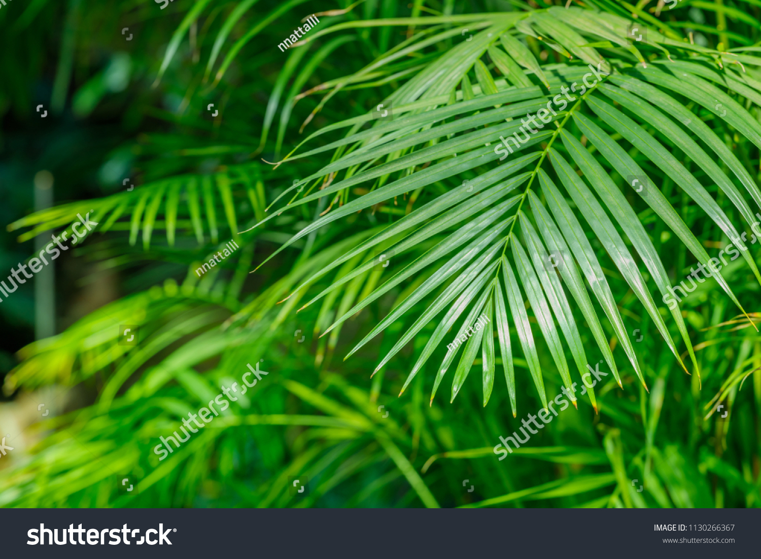 Butterfly Palm Madagascar Palm Areca Palm Chrysalidocarpus Dypsis Lutescens Plant Known Golden Cane Stock Photo Edit Now