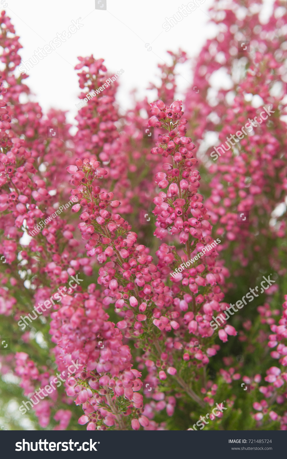 Erica Gracilis Erica Gracilis Beauty Queen Margarethe Stock Photo Edit Now