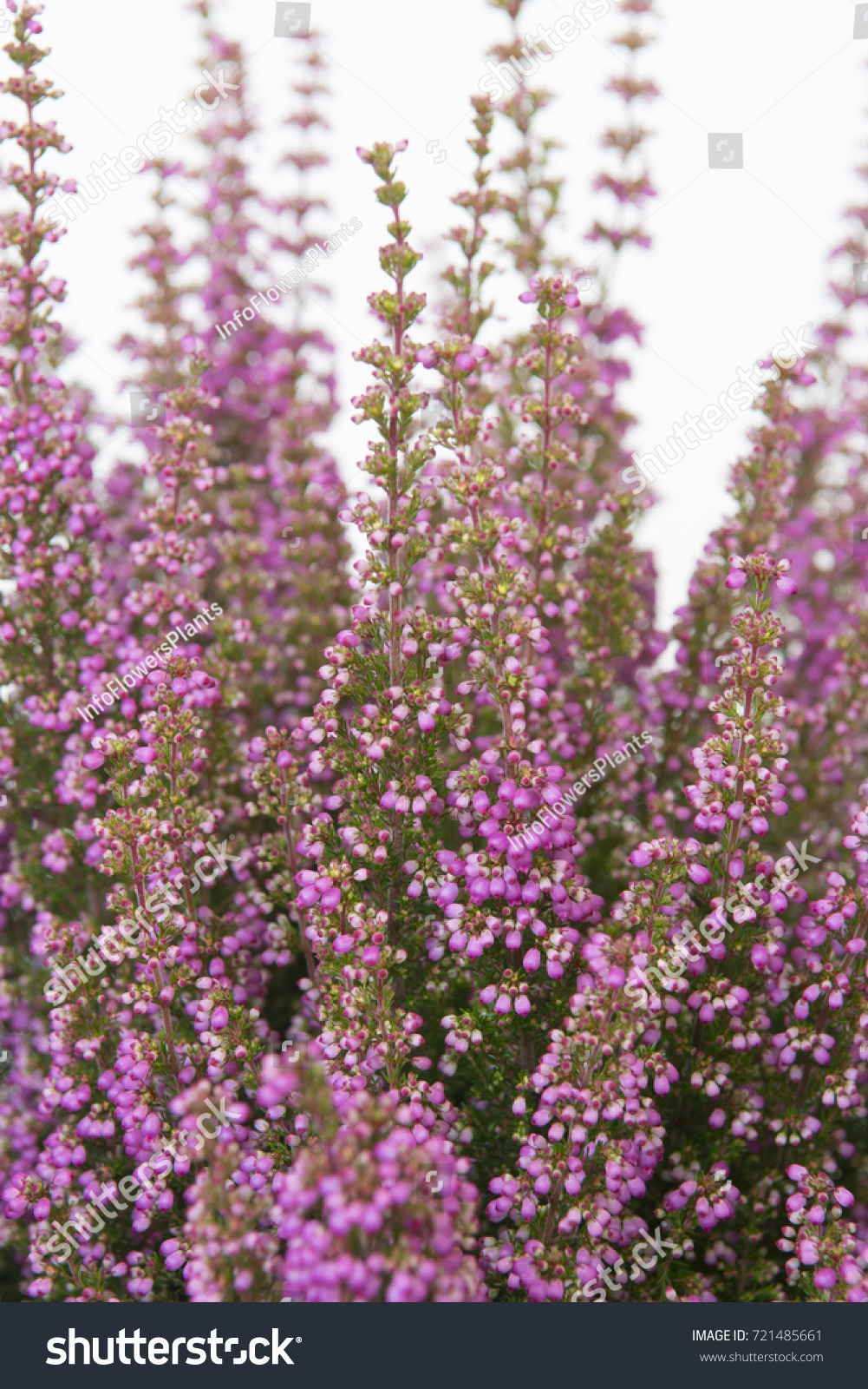 Erica Gracilis Erica Gracilis Beauty Queen Sylvia Stock Photo Edit Now