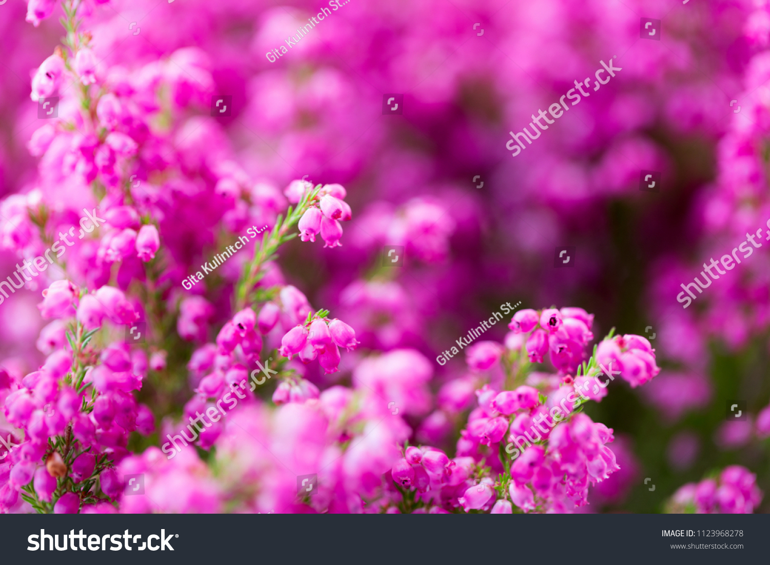 Erica Gracilis Erica Gracilis Colorful Plants Outdoors Stock Photo Edit Now
