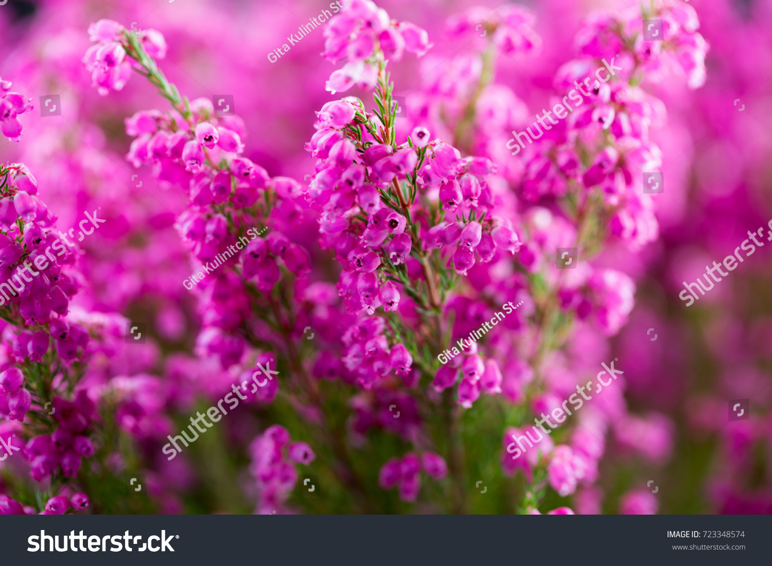Erica Gracilis Erica Gracilis Colorful Plants In Outdoors Ez Canvas