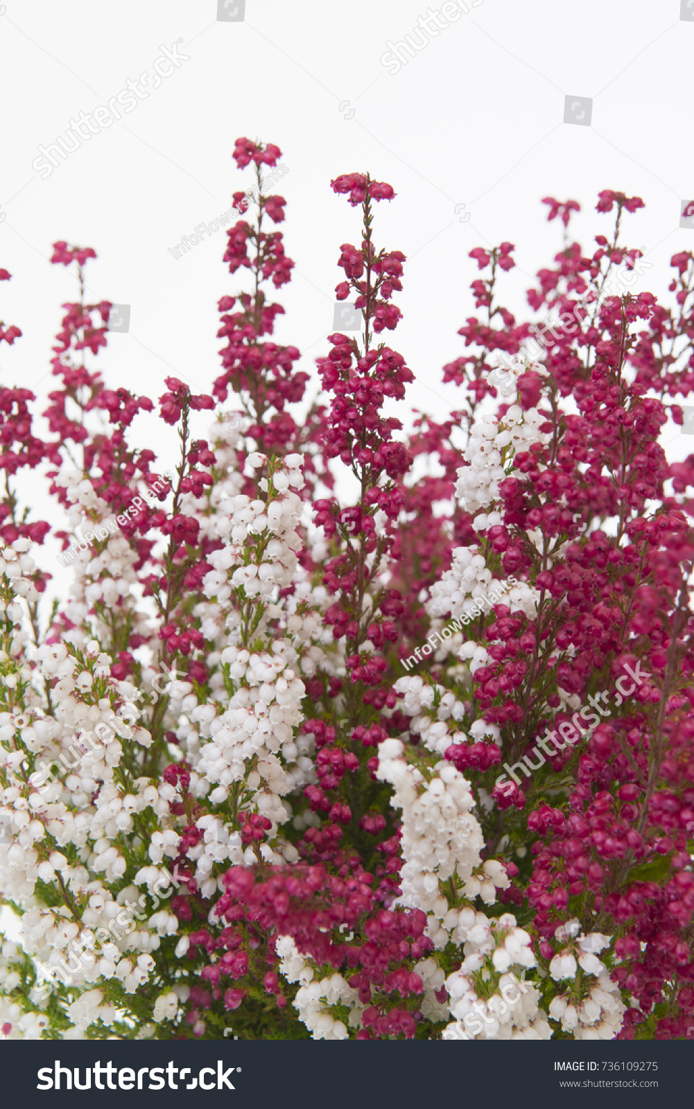 Erica Gracilis Erica Gracilis Twin Stock Photo Edit Now 736109275 Shutterstock