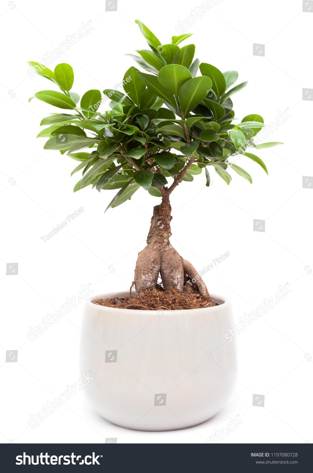 Ficus Ginseng Bonsai Care Of Ficus Microcarpa Ginseng Pflanze Mit