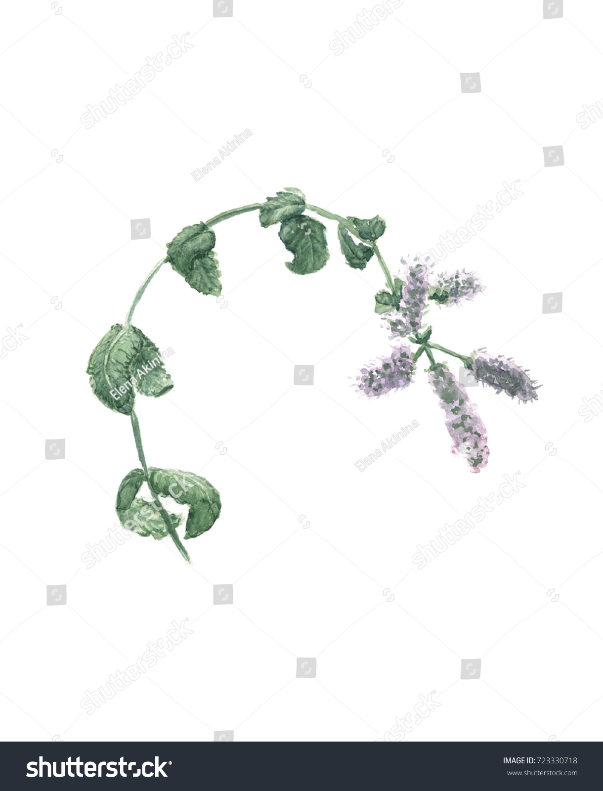Mentha Cocinas Royalty Free Stock Illustration Of Flowering Mint Branch On White