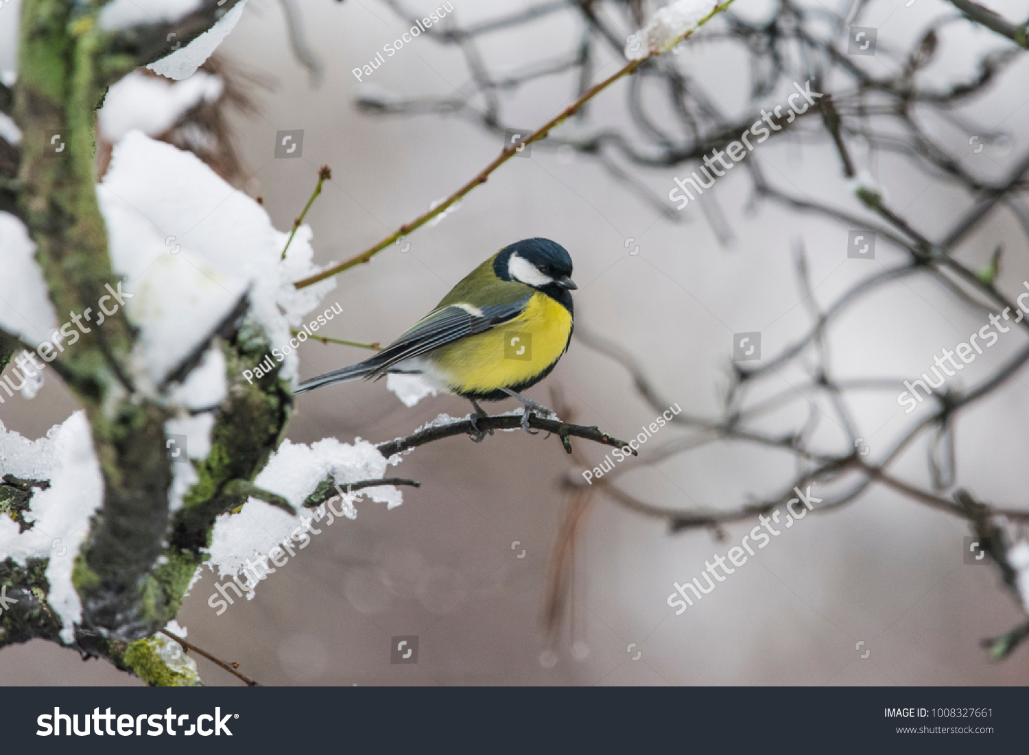 Kohlmeise Winter Great Tit Winter Stock Photo Edit Now 1008327661 Shutterstock