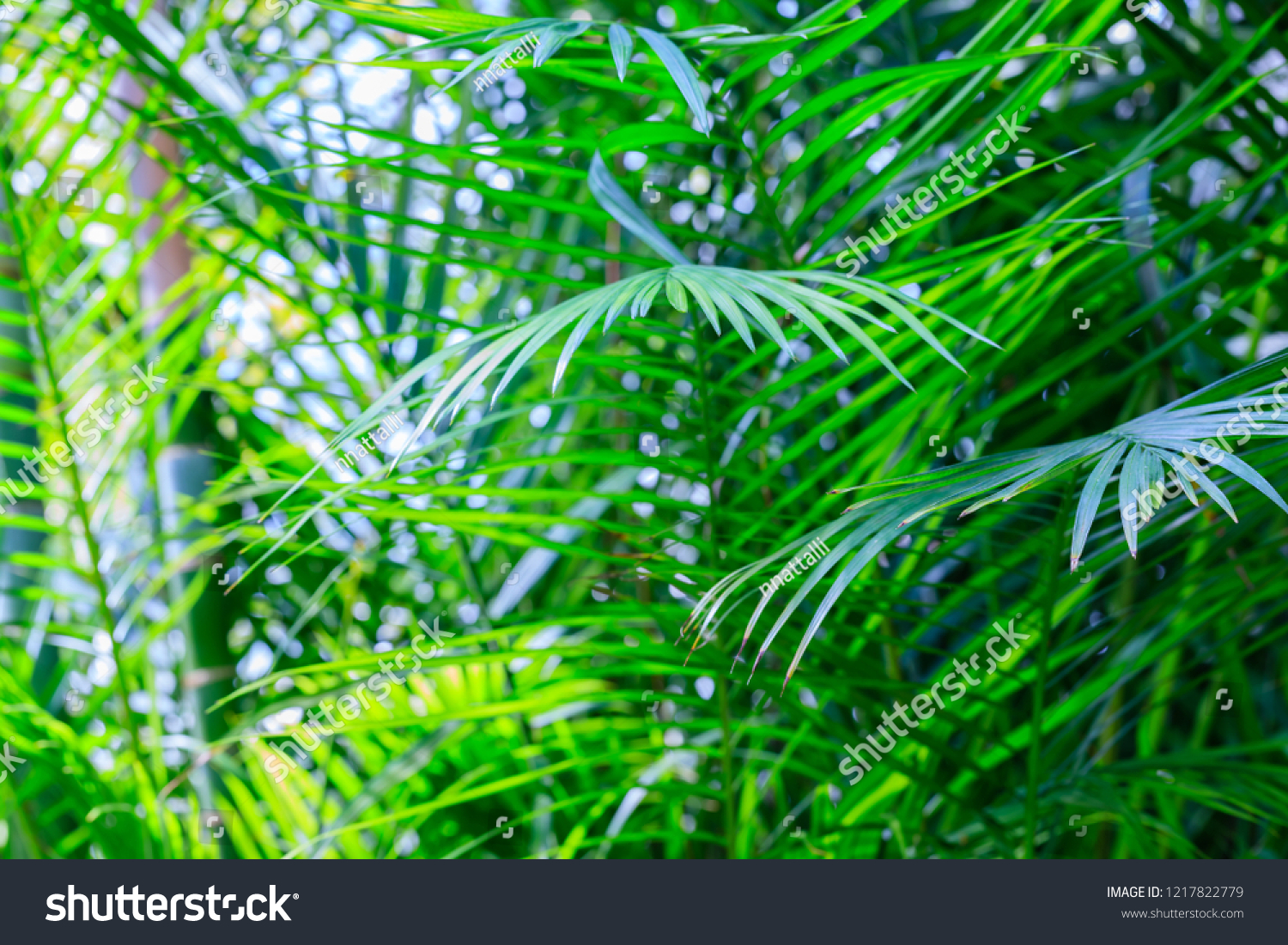 Butterfly Palm Madagascar Palm Areca Palm Chrysalidocarpus Green Palm Leaves Tropical Forest Dypsis Stock Photo Edit Now