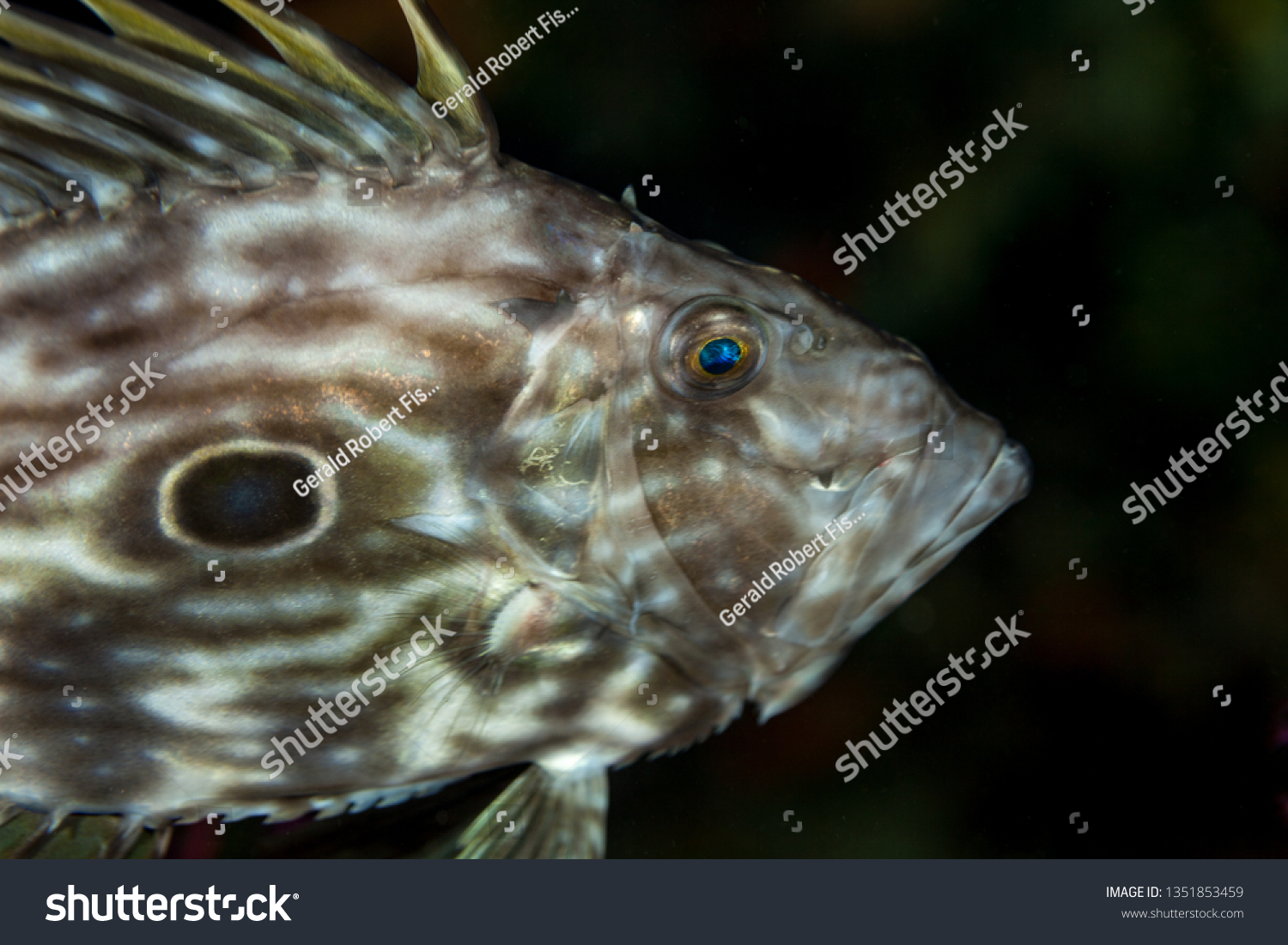 Dory Vis John Dory St Pierre Peters Fish Stock Photo Edit Now 1351853459