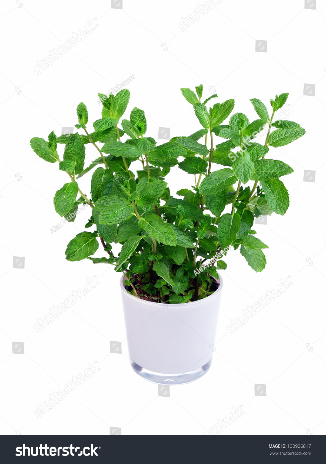 Kitchen Herb Pot Kitchen Herb Mint In A Pot Isolated Stock Photo