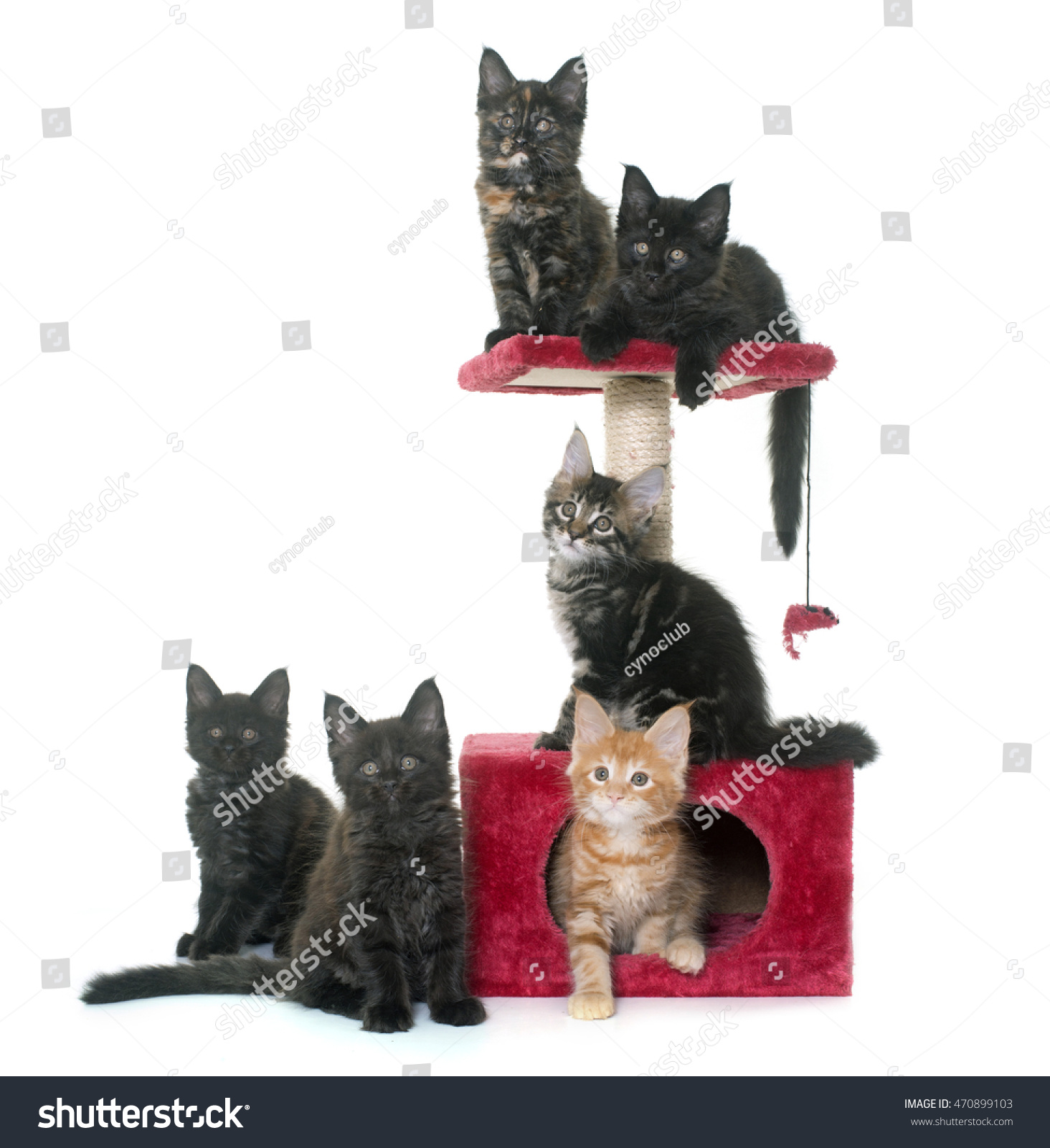 White Cat Scratching Post Maine Coon Kitten On Scratching Post Stock Photo 470899103