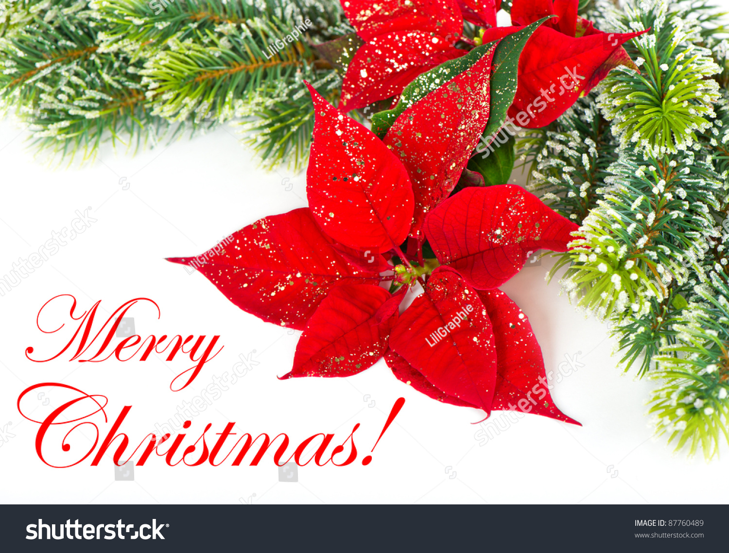 Sorry Quotes Wallpaper Download Merry Christmas Card Concept Red Poinsettia Stock Photo