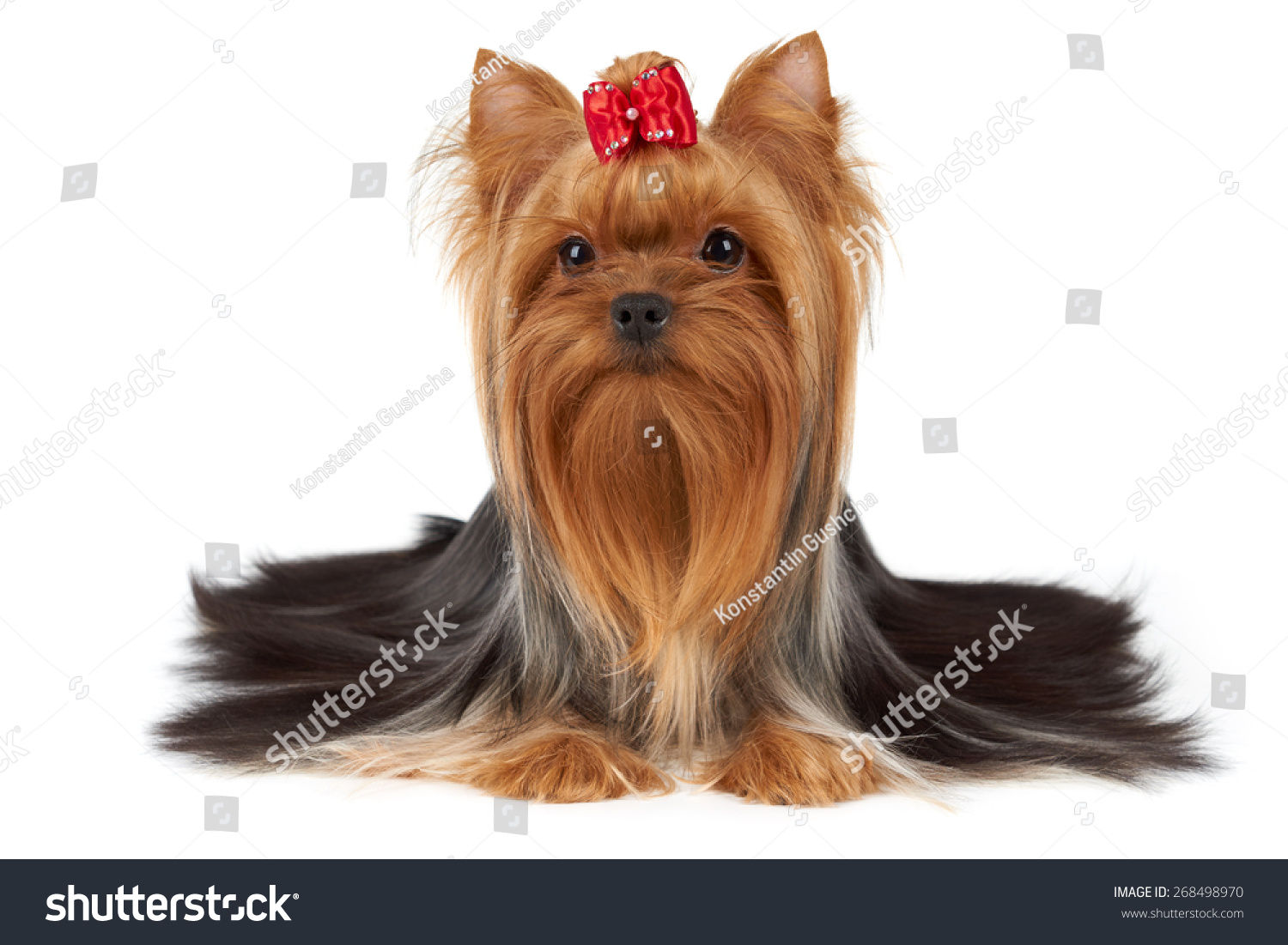 Long Yorkie Haircuts Yorkie Hairstjles Medium Length Male Yorkie