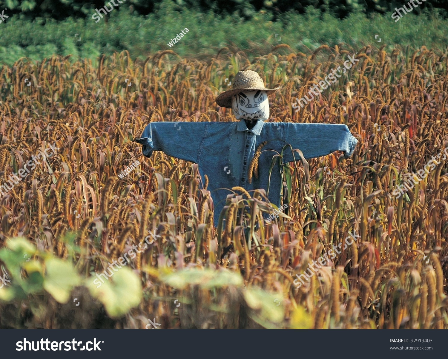 Fall Scarecrow Wallpaper Photo Of Scarecrow In Corn Field On A Sunny Day 92919403