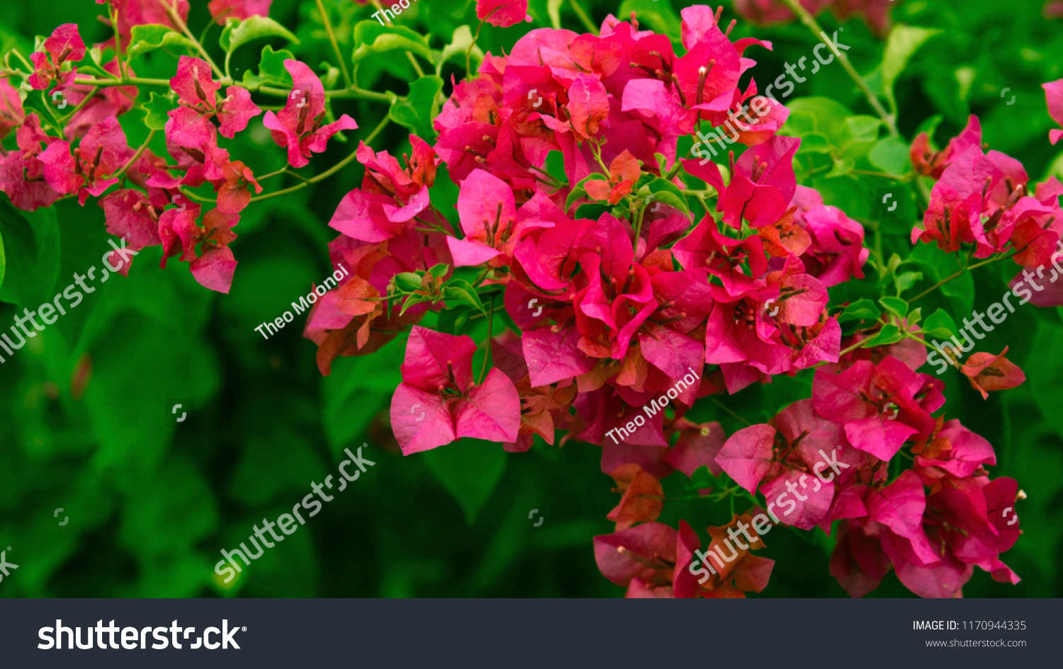 Bougainvillea Wallpaper Red Bougainvillea Wallpaper Background Hd Stock Photo Edit Now