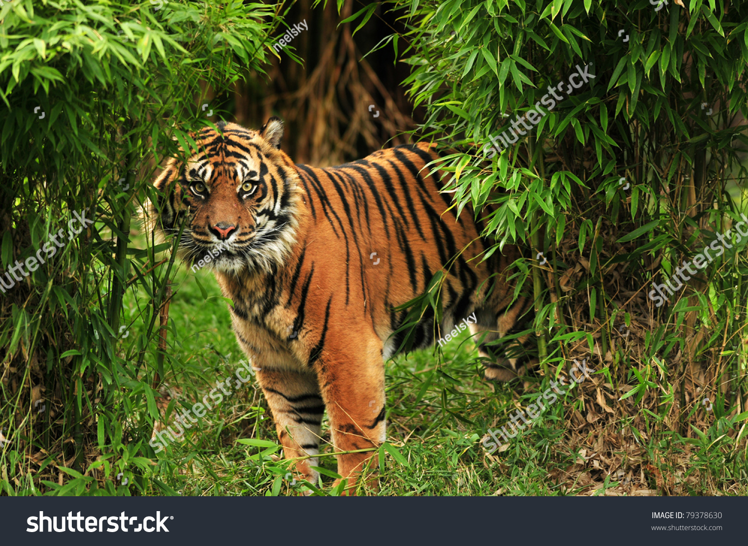 Girl Eyes Looking Up Wallpaper Scary Looking Male Royal Bengal Tiger Stock Photo 79378630