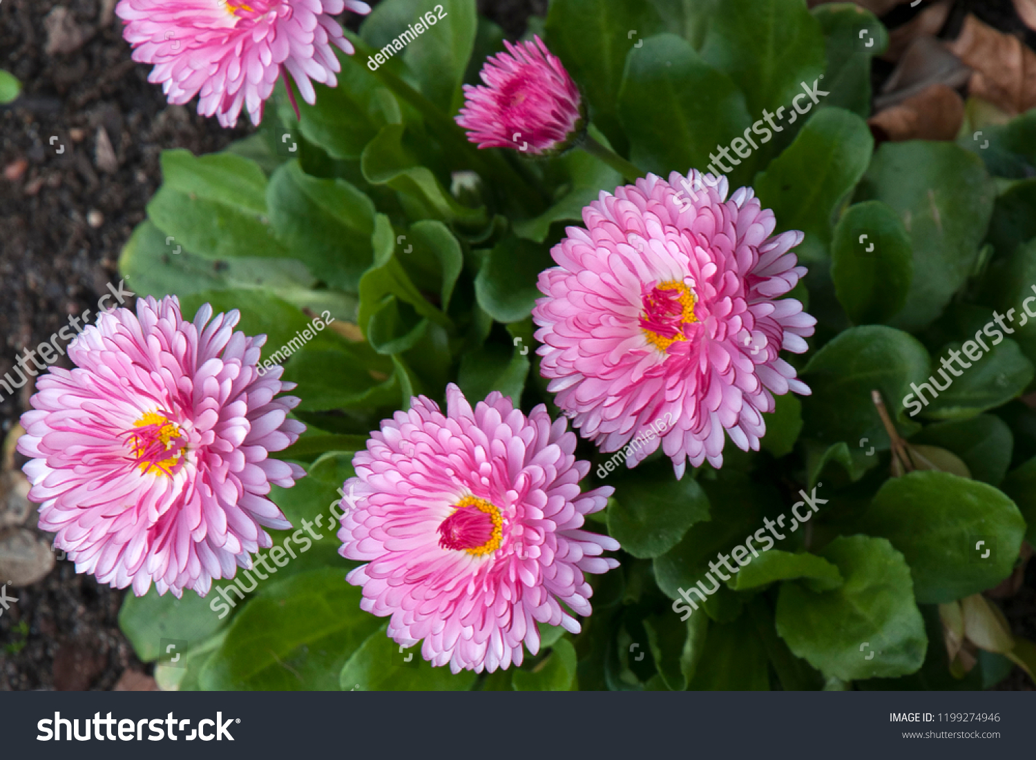 Pink Flowers Australia Sydney Australia Pink Flowers Paper Daisy Stock Photo Edit Now
