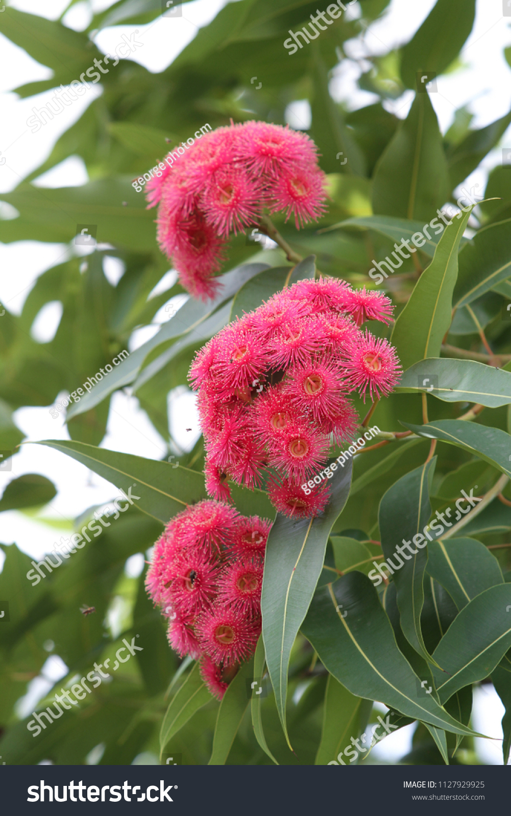 Pink Flowers Australia Beautiful Pink Flowers Eucalyptus Flower Australia Stock Photo