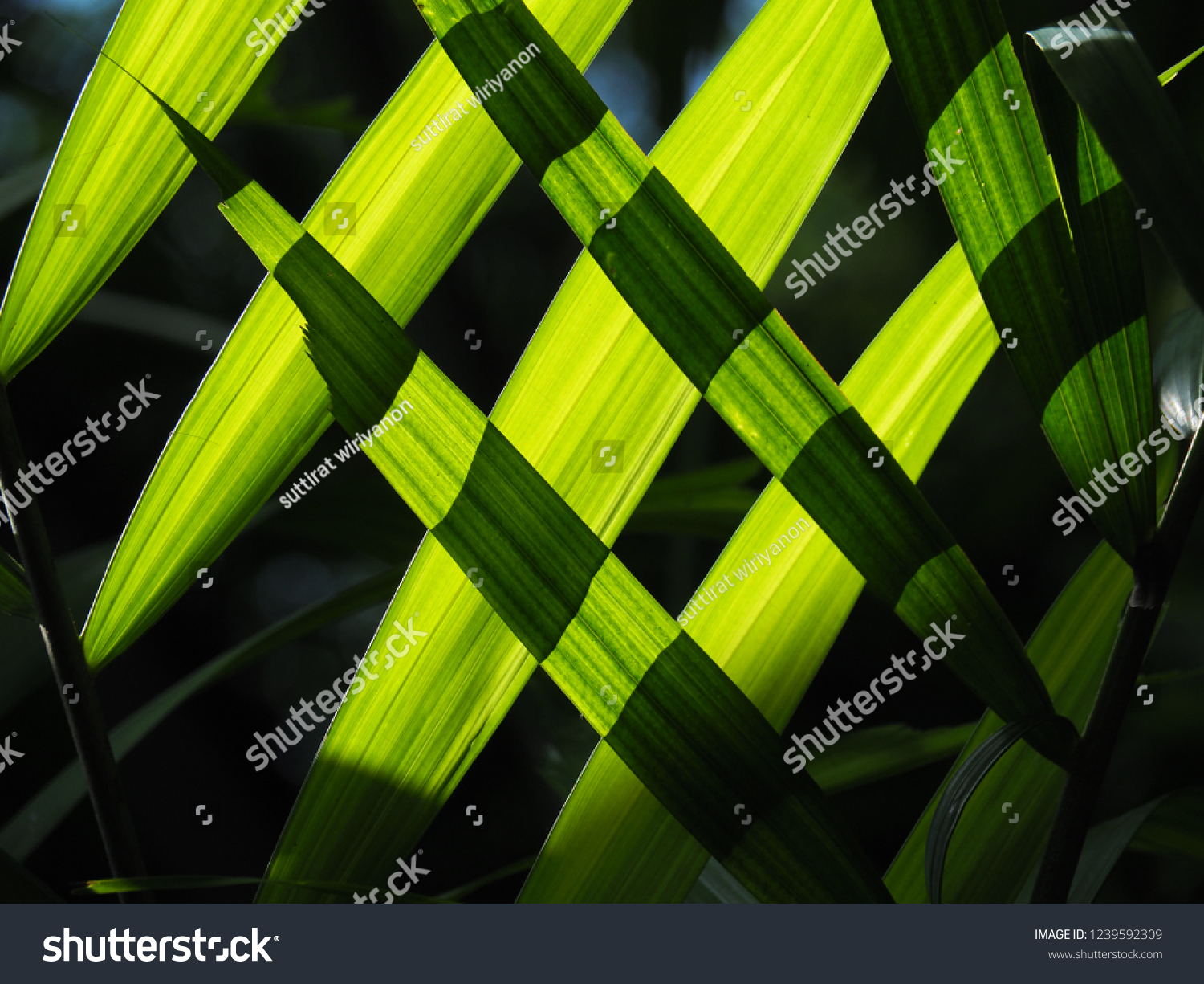 Chrysalidocarpus Space For Life Yallow Palm Tree Leaves Look Like Stock Photo Edit Now