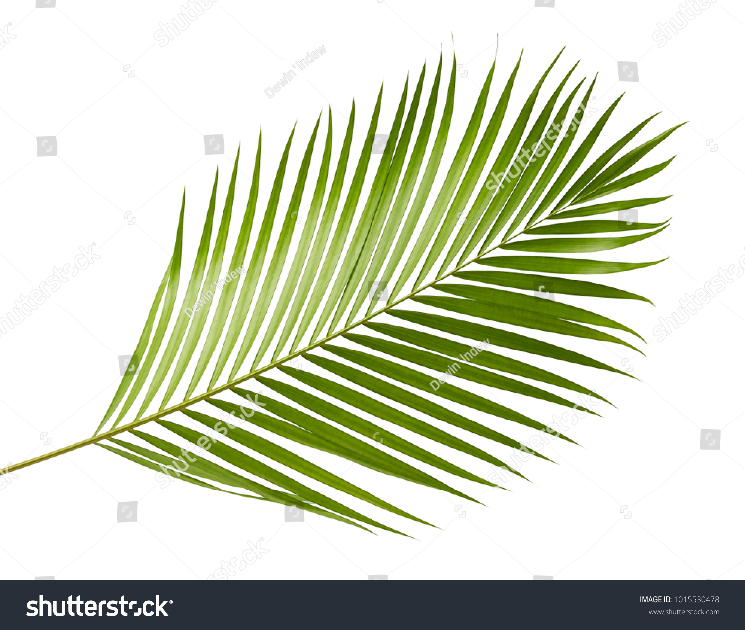 Yellow Palm Leaves Dypsis Lutescens Golden Stock Photo Edit Now 1015530478