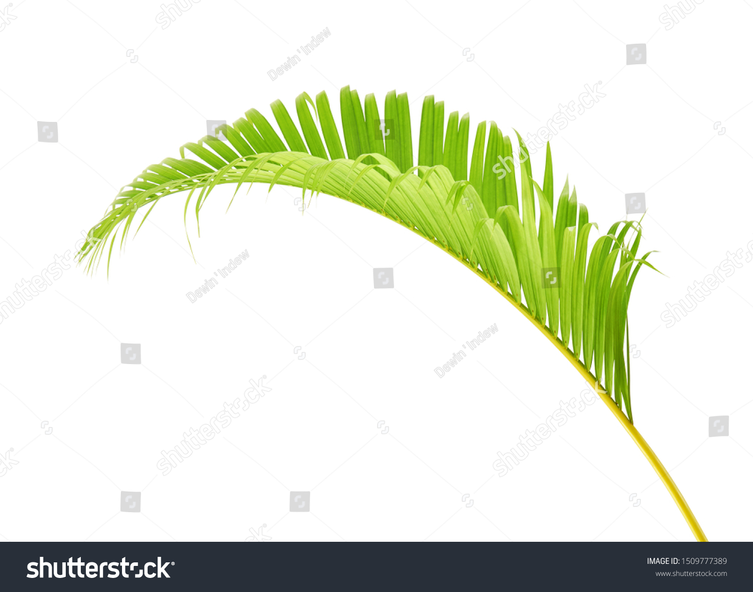 Yellow Palm Leaves Dypsis Lutescens Golden Stock Photo Edit Now 1509777389