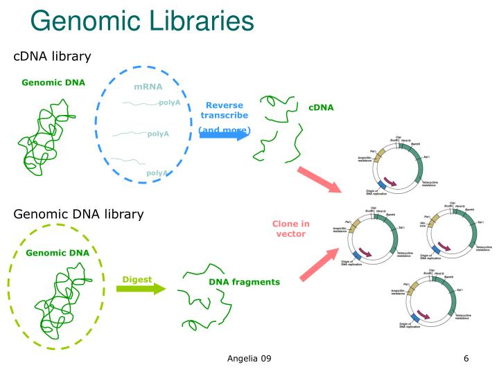 PPT - cDNA Library PowerPoint Presentation - ID1416088