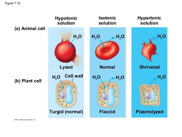 Plant And Animal Cells In Hypertonic And Hypotonic Solutions