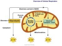 Cellular Respiration - Lessons - Tes Teach
