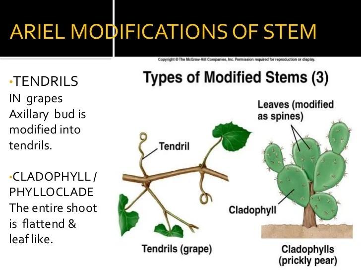 Root Stem Morphology