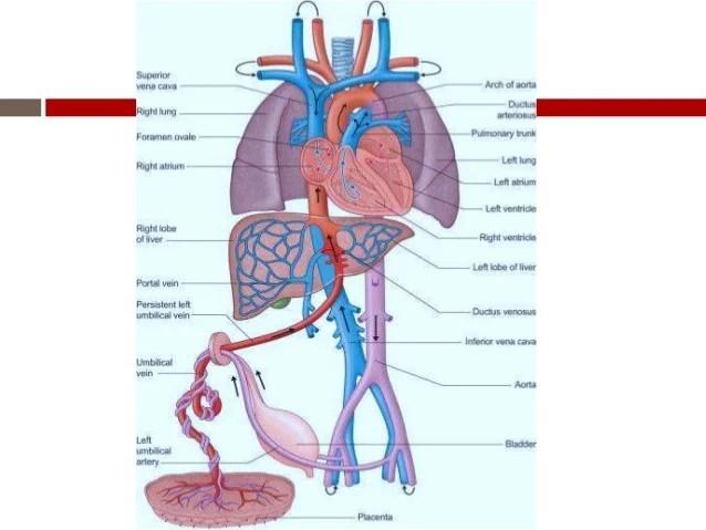 fetal circulation - Pinarkubkireklamowe